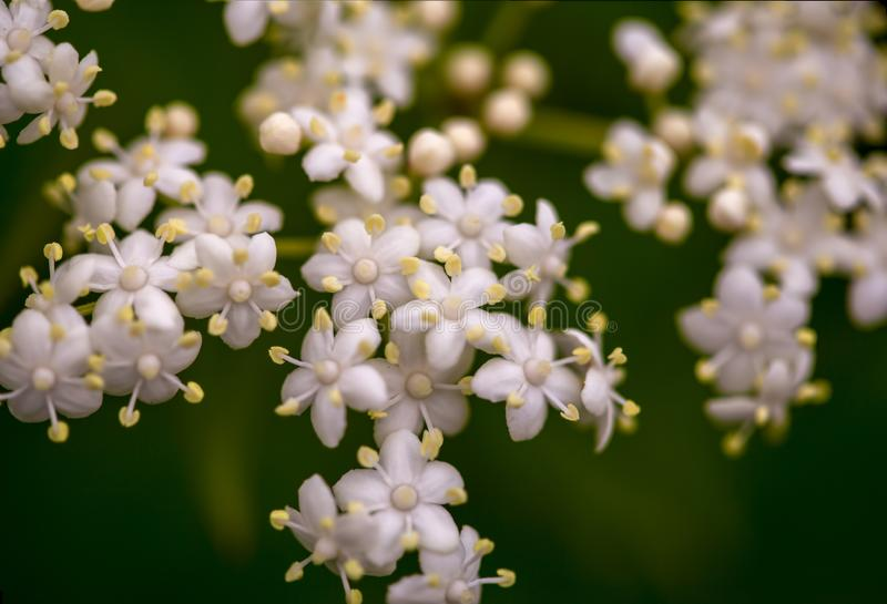 Macro photography of elderberry flowers royalty free stock image