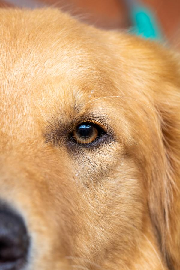 Macro photography of the eyes of a golden retriever attentive and happy dog royalty free stock photos