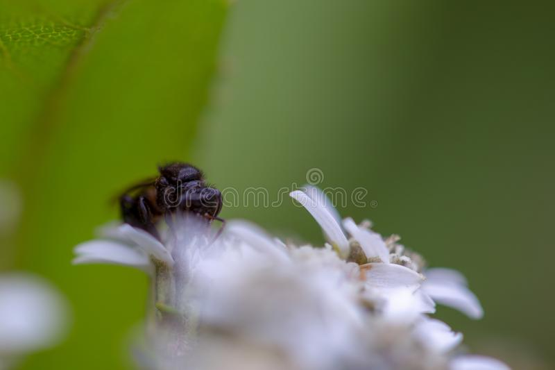 Macro photography from the front of a black bee royalty free stock photo