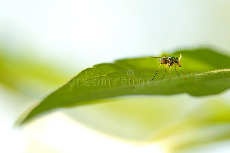Macro photography of green flies on green leaves. Macro photography of green flies on green leave royalty free stock photo