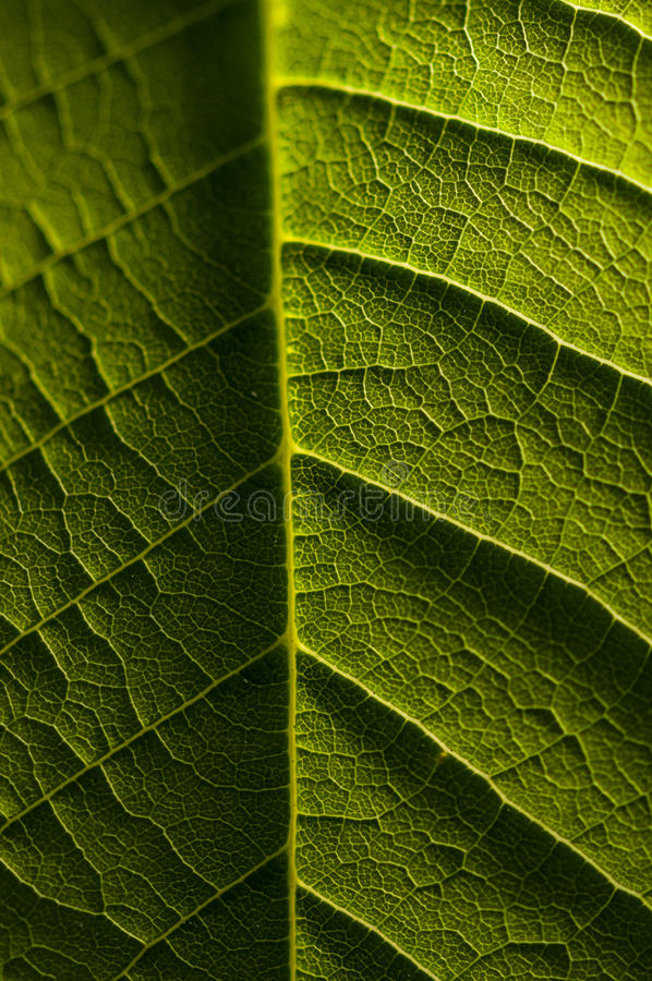 Macro photography of green leaf, organic green leaf texture.  royalty free stock photo