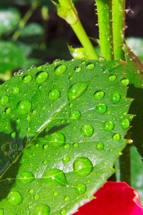 Macro photography of a green leaf of a rose with drops of dew.  royalty free stock image