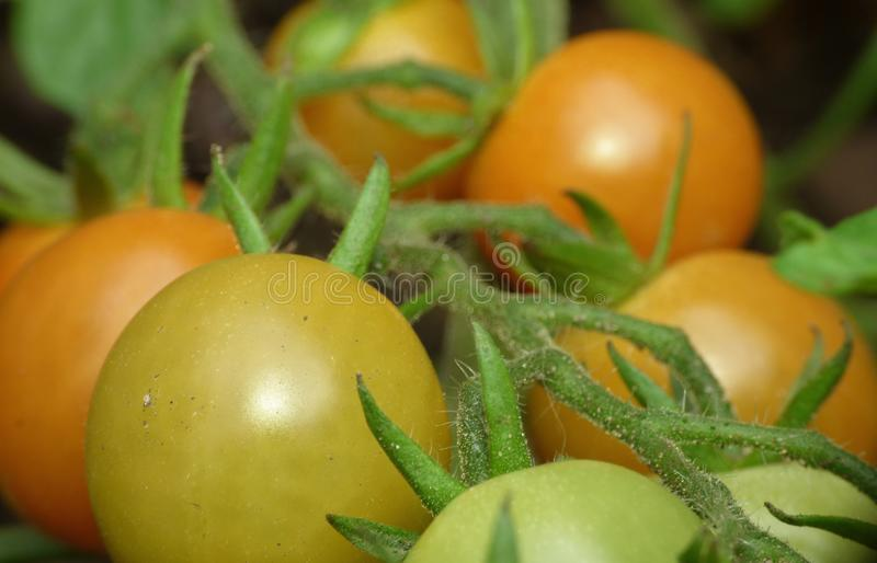 Macro Photography - green / red / orange tomatoes / flowers growing in the garden, photo taken in the UK. Macro Photography of green / red / orange tomatoes / royalty free stock photos