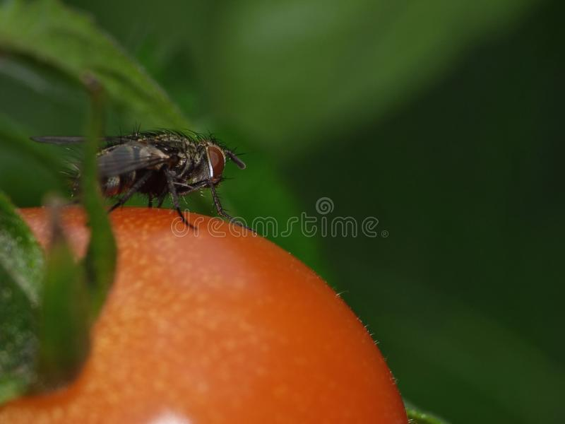 Macro Photography of tomatoes / flowers growing in the garden, photo taken in the UK royalty free stock photos