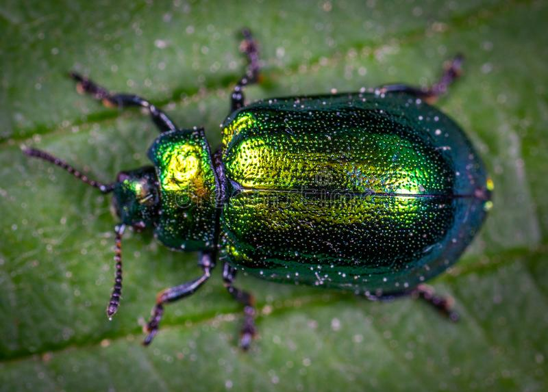 Macro Photography of Jewel Beetle on Green Leaf stock photography