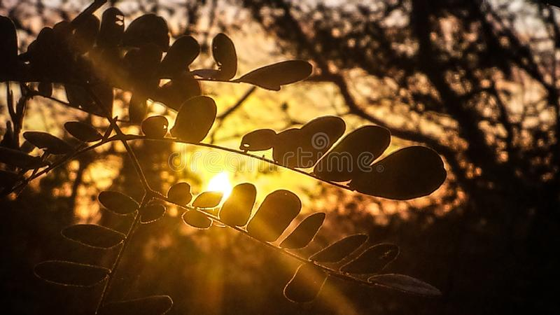 Macro photography leaves. Of a tree with background at sunset sunset being seen in forest through trees stock photo