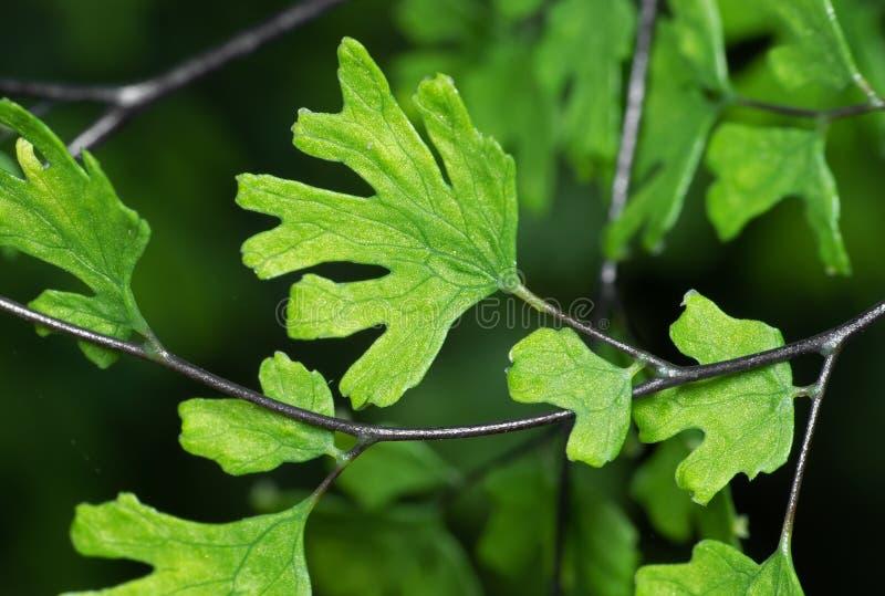 Macro Photo of Maidenhair Fern or Adiantum Plant Isolated on Background royalty free stock image