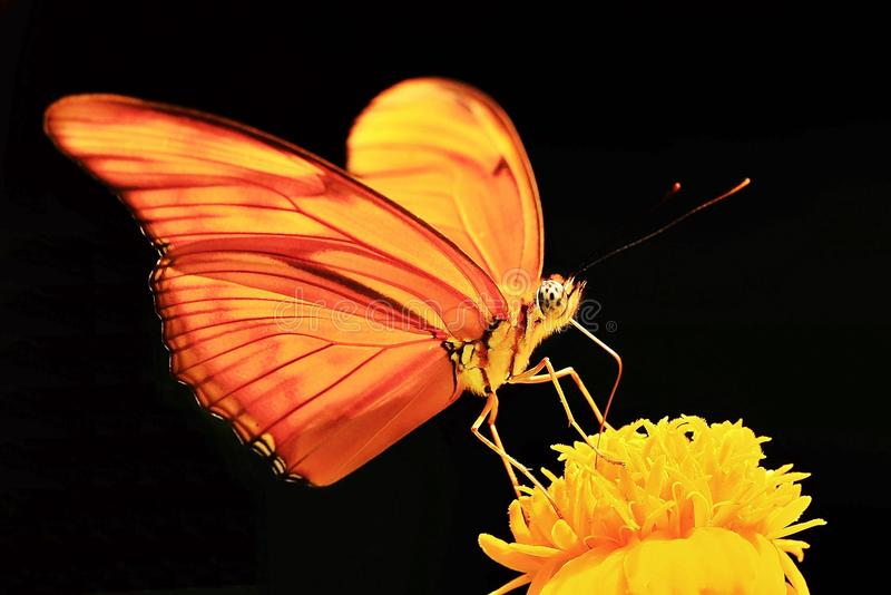 Macro photography of orange butterfly yellow flower black background royalty free stock photos