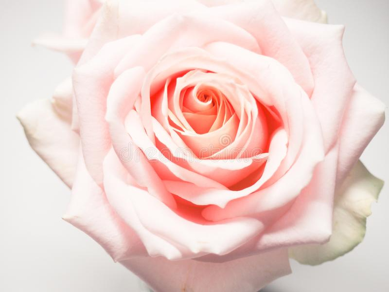 Macro Photography of Pale-pink Rose royalty free stock photos