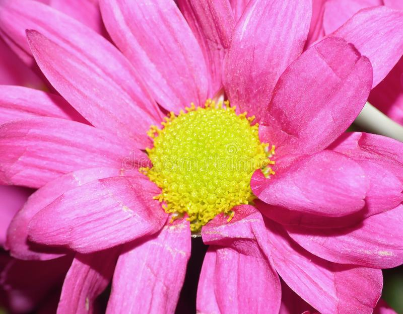 Macro Photography of Pink Dahlia Flower with Lime Green Center. Macro shot of Pink Dahlia Flower with Lime Green Center, super close using lumix camera with royalty free stock photo