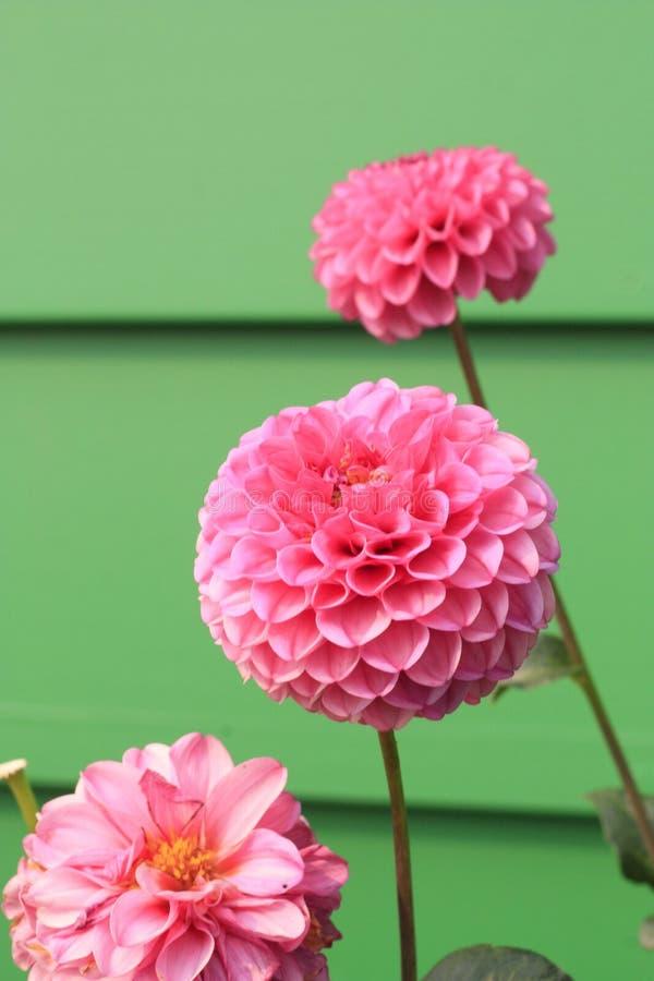 Macro Photography Pink Petal Flowers royalty free stock image