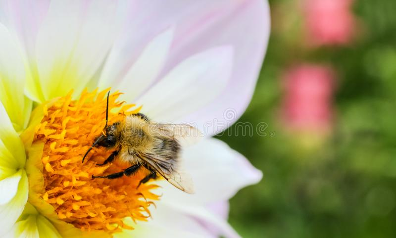 Macro photography of pollinator honey bee drinking nectar from white wild flower and garden background. Out of focus due to shallow depth of field royalty free stock photos