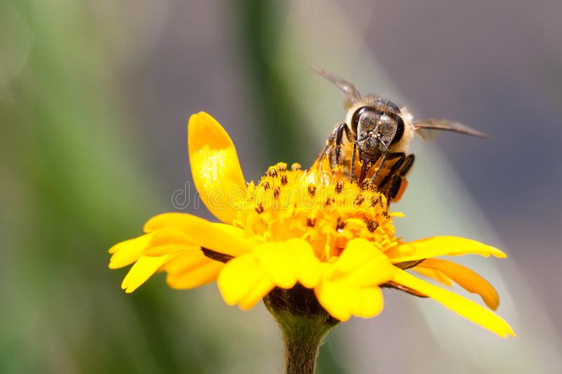 Macro photography of pollinator honey bee drinking nectar from yellow wild flower. With proboscis extending into the flower and simultaneously bringing pollen stock photo