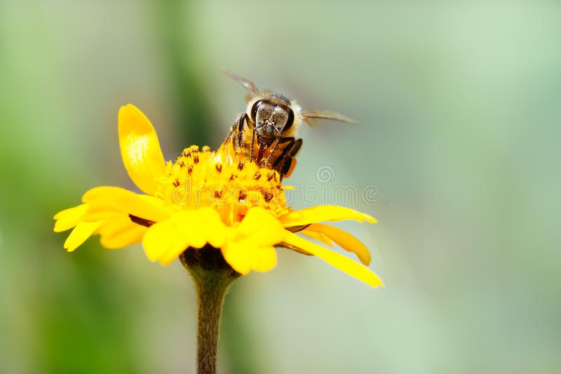Macro photography of pollinator honey bee drinking nectar from yellow wild flower with proboscis extending into the flower. And simultaneously bringing pollen royalty free stock photo