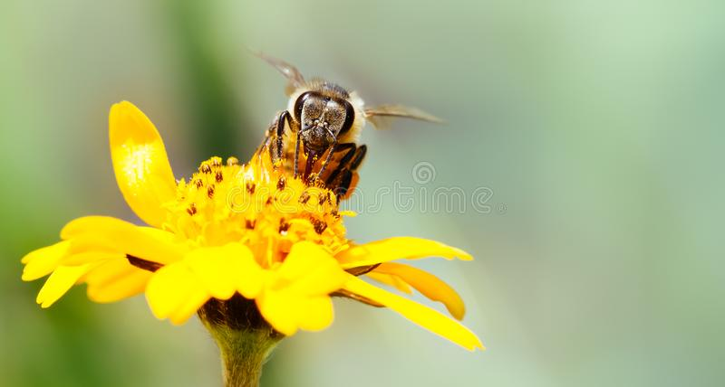 Macro photography of pollinator honey bee drinking nectar from yellow wild flower with proboscis extending into the flower. Photo in wide format with negative stock photography