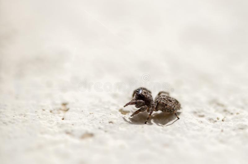 Macro photography of a tiny brown jumping spider. Walking on a wall. Captured at the Andean mountains of central Colombia stock photos