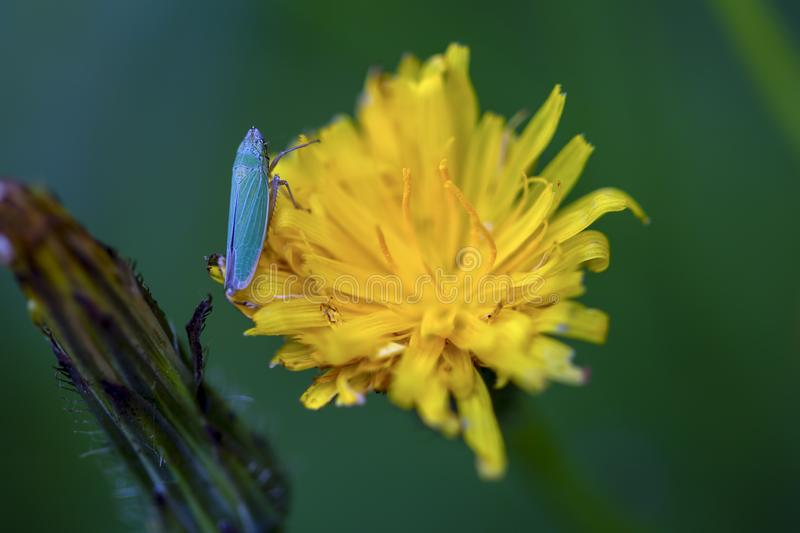 Catydid on a dandelion flower. royalty free stock photography