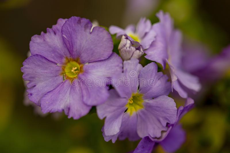 Macro photography of violet primrose flowers stock image