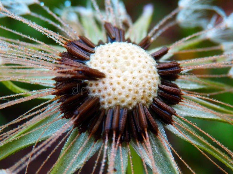 Macro photography of wet dandelion. Color detail photography of dandelion flower after rain stock image