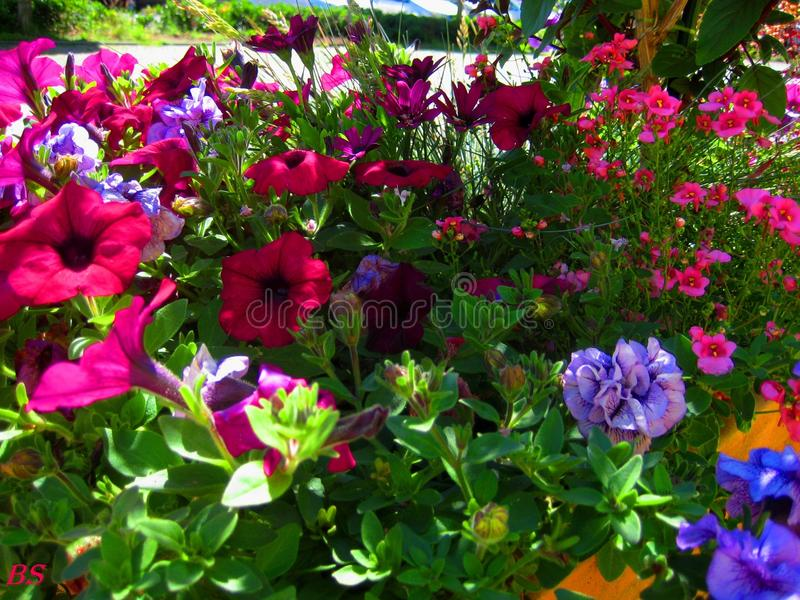 Macro photos avec de belles fleurs lumineuses du pétunia pour l'aménagement image libre de droits