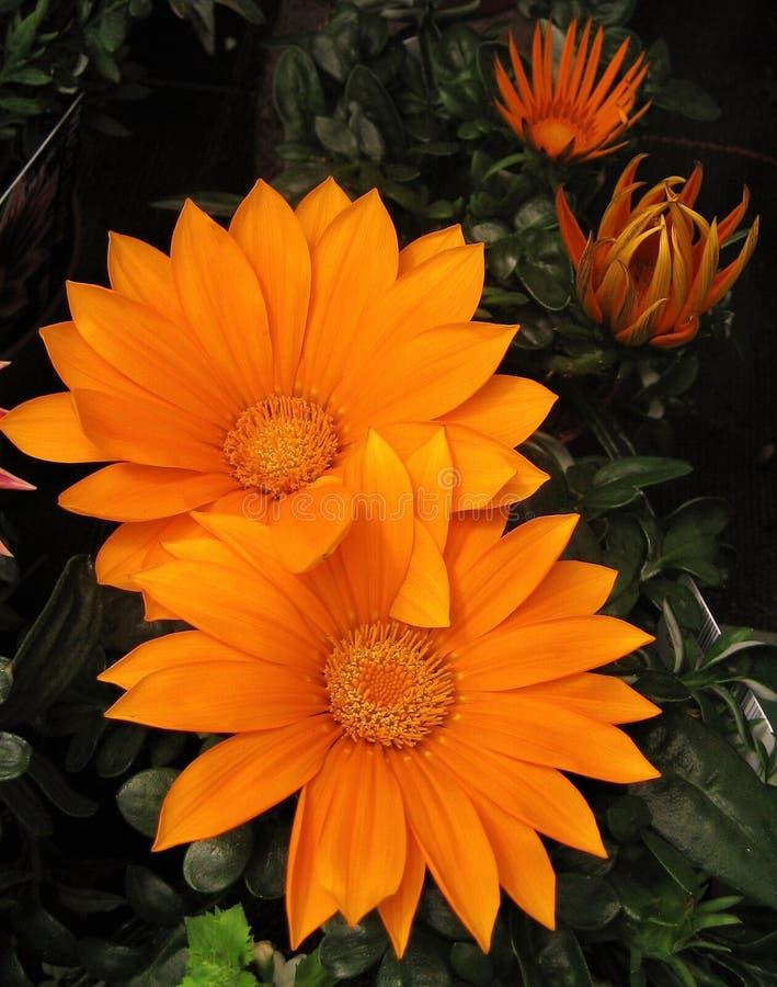 Macro photos avec marguerites africaines de belles grandes fleurs lumineuses, Osteospermum, tonalité d'orange de pétales image libre de droits