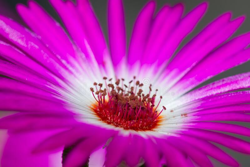 Macro picture of flower of Delosperma. Cooperi; pistil and stamens of flower stock photography