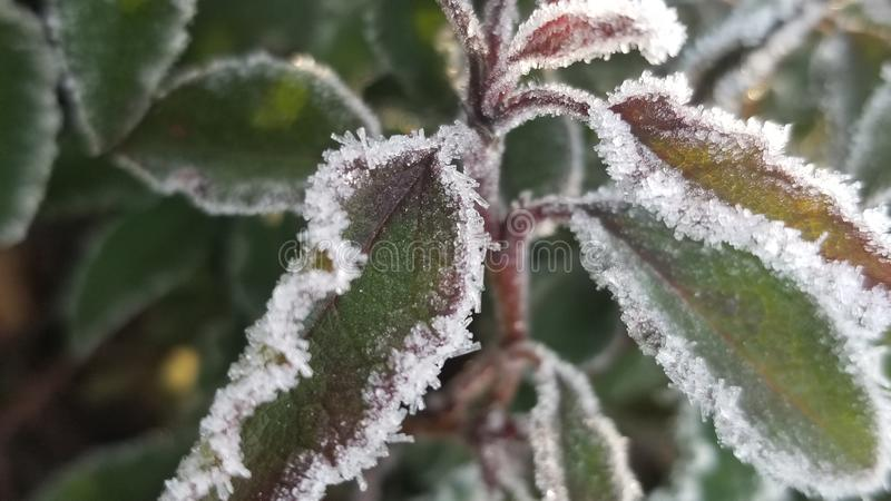 Frozen leaves. Macro picture of frozen leaves green stock images