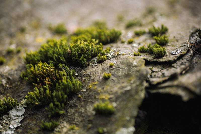 Macro picture of green moss. Close up macro photography of nature. Color bright background with amazing bokeh. moss lichen backgro royalty free stock image