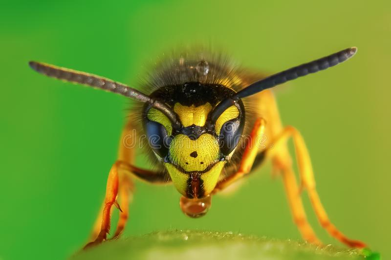 Macro picture of a wasp. Macro picture with the frontal view of a wasp royalty free stock photos