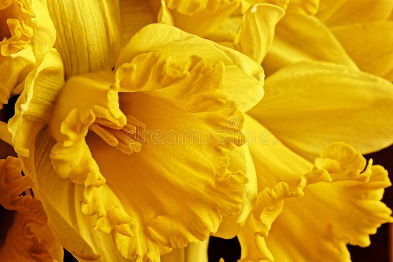 Macro picture of a yellow daffodil. Yellow flowering daffodil flower in spring royalty free stock photos