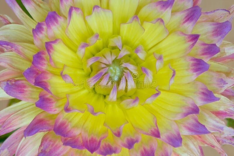 Macro picture of yellow-purple dahlia. Macro picture of yellow dahlia with purple tops of petals stock photo