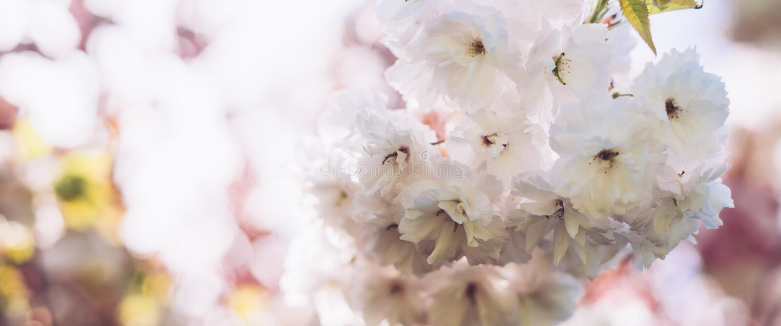 Macro pink blossom cherry tree in spring garden, sakura tree on background closeup, beautiful romantic flowers for card clean spac. E for text, blooming flora royalty free stock photography