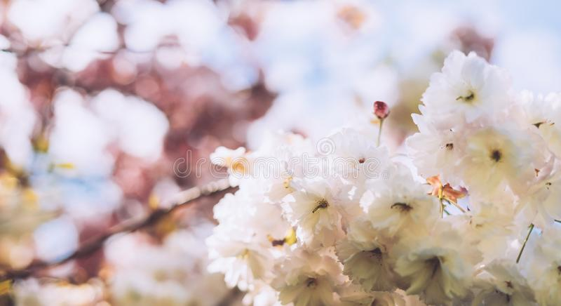 Macro pink blossom cherry tree in spring garden, sakura tree on background closeup, beautiful romantic flowers for card clean. Space for text, blooming flora stock photo