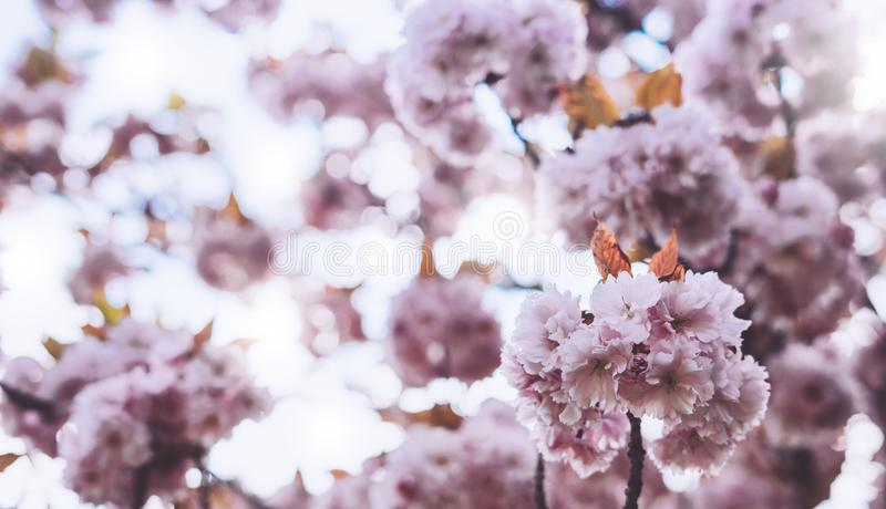 Macro pink blossom cherry tree in spring garden, sakura tree on background closeup, beautiful romantic flowers for card clean. Space for text, blooming flora stock photos