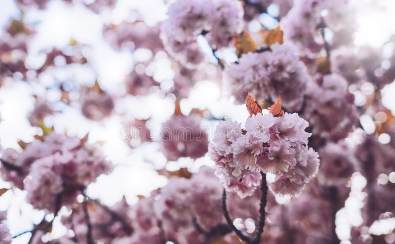 Macro pink blossom cherry tree in spring garden, sakura tree on background closeup, beautiful romantic flowers for card clean. Space for text, blooming flora royalty free stock images