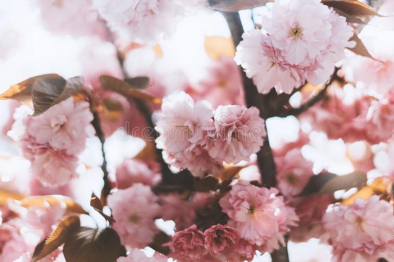 Macro pink blossom cherry tree in spring garden, sakura tree on background closeup, beautiful romantic flowers for card clean. Space for text, blooming flora royalty free stock image