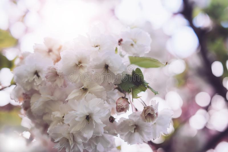 Macro pink blossom cherry tree in spring garden, sakura tree on background closeup, beautiful romantic flowers for card clean. Space for text, blooming flora stock image