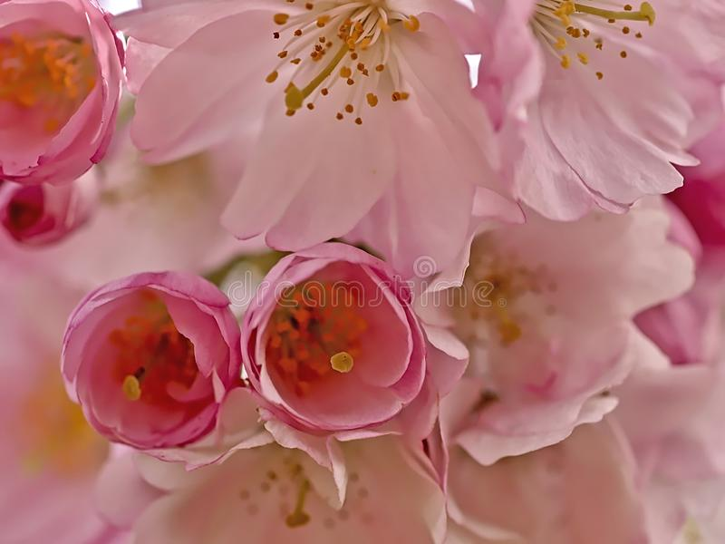 Pink blooming cherry flowers in spring royalty free stock photos