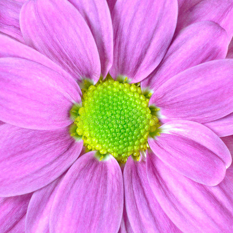Macro of Pink Dahlia Flower with Lime Green Center royalty free stock photos