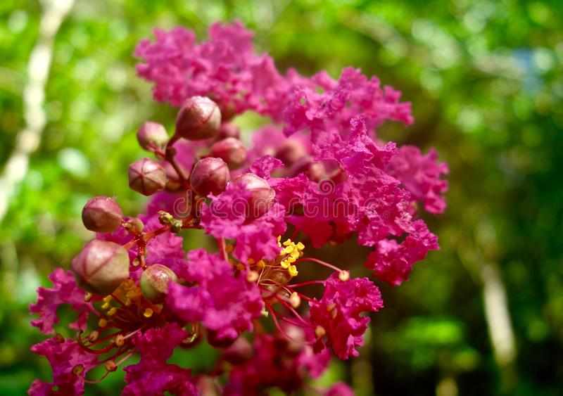 Macro of pink flowers on a Crape Myrtle tree royalty free stock photography