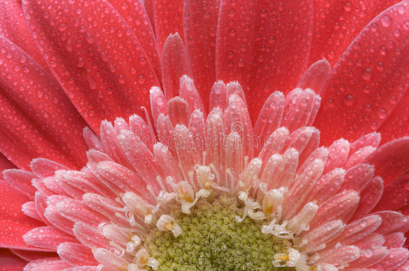 Macro Pink Gerber Daisy with Water Drops royalty free stock photo