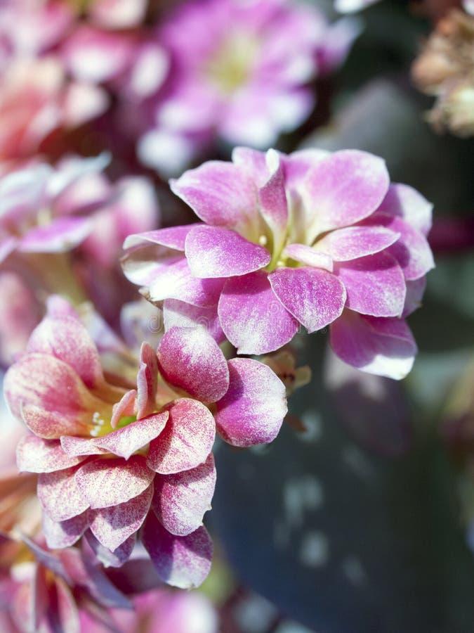 MACRO: Pink/Violet flowers royalty free stock photos