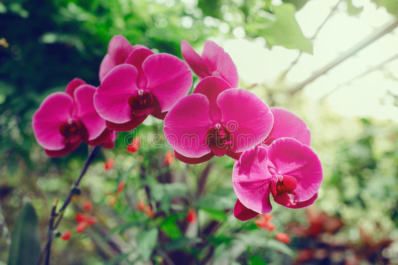 Macro of pink violet purple flowers orchid on tree branch in botanical garden greenhouse. Closeup macro of pink violet purple flowers orchid on tree branch in stock image