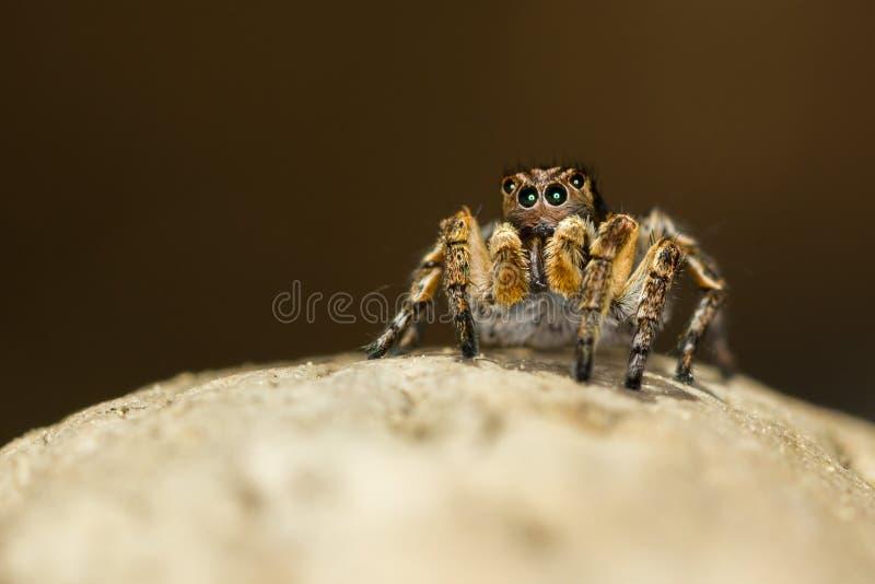 Macro plan rapproché Araignée sautante de semicupreus de Hyllus sur une roche images libres de droits