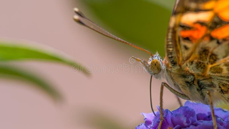 Macro plan rapproché détaillé extrême de l'alimentation peinte de papillon de dame/pollinisant sur le wildflower - au Minnesota photos stock