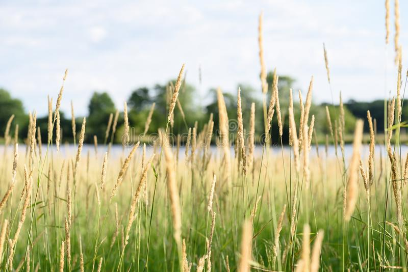 Macro plan rapproché d'herbe grande en préservations de la nature de l'Illinois photo stock