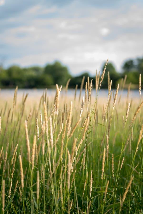 Macro plan rapproché d'herbe grande en préservations de la nature de l'Illinois photos stock
