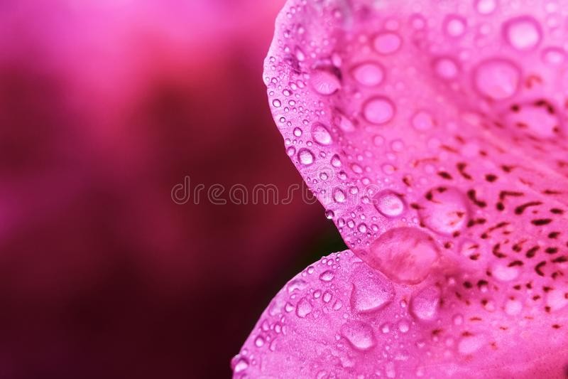 Macro plan rapproché d'un pétale rose de fleur de rhododendron avec les gouttelettes et le grand espace de copie photographie stock