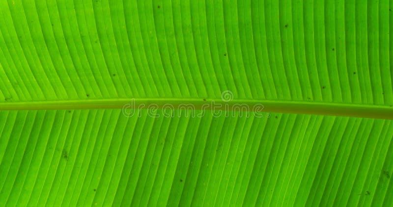 Macro plan rapproché d'une feuille de bananier, fruit tropical populaire soutenant l'usine, fond de nature image libre de droits