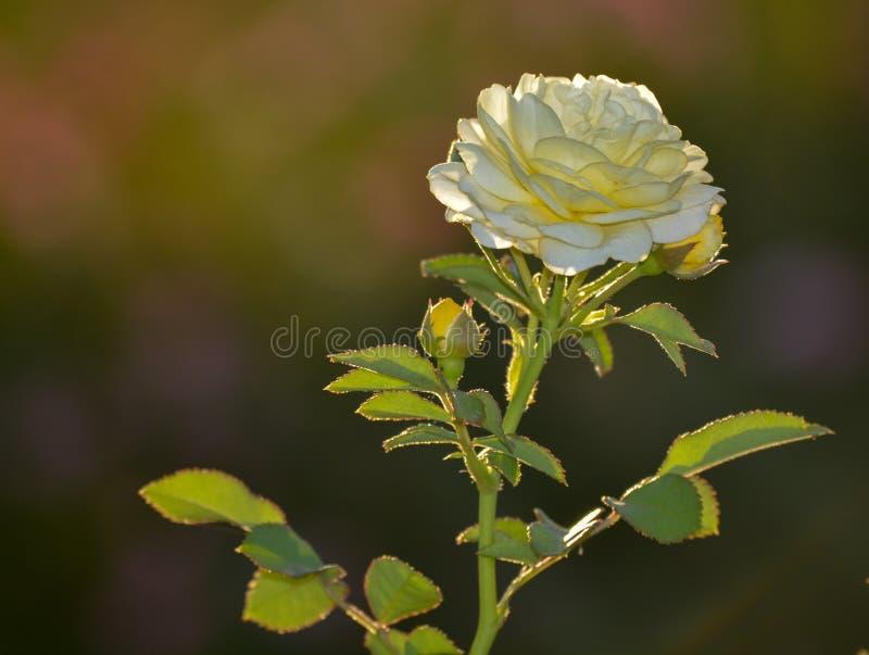 Macro plan rapproché de fleur blanche photographie stock libre de droits